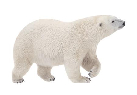 白い背景の上を歩く熊
