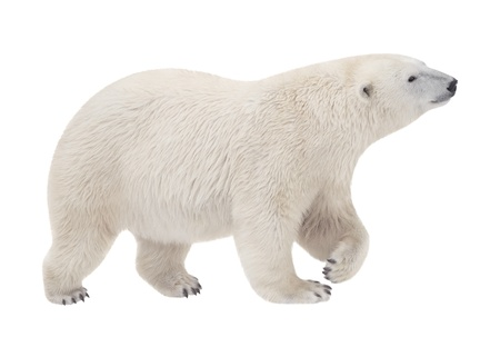 bear walking on a white background photo