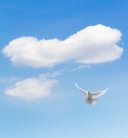 white pigeon: White dove flying in the sky  Stock Photo