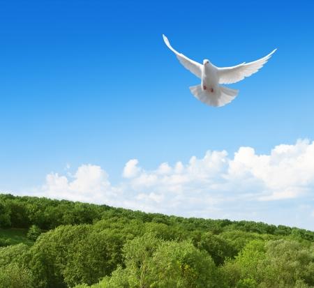 dove flying: White dove flying in the sky