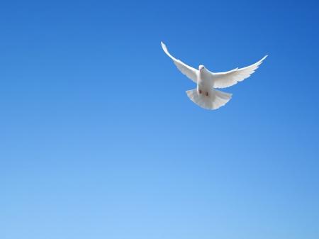 White dove flying in the sky photo