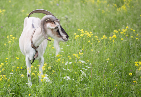land animals: Goat grazed on a meadow