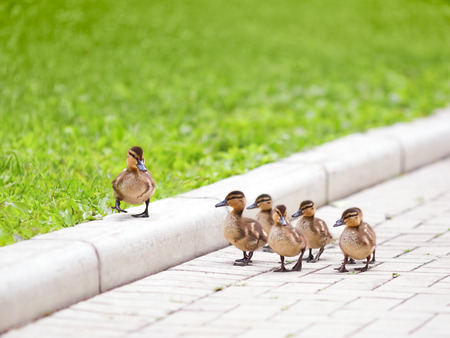 team leader: Ducklings walking on the road Stock Photo