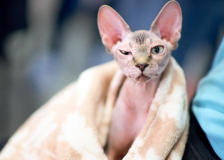 funny sphynx cat squints one eye
