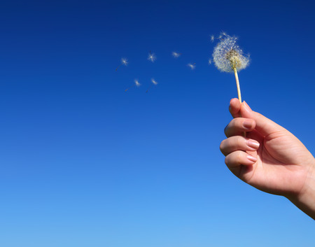 Dandelion spreading seeds in female hand on background of blue sky