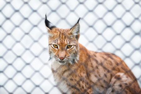 rabitz: Lynx in zoo looking at you out of the cage sad look