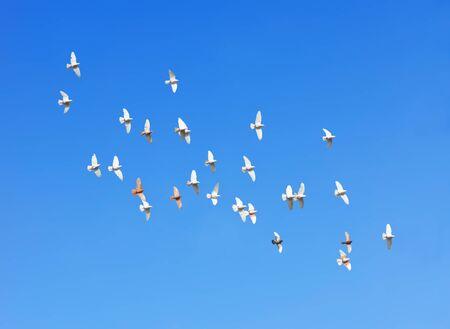 palomas volando: bandada de palomas volando en el cielo azul