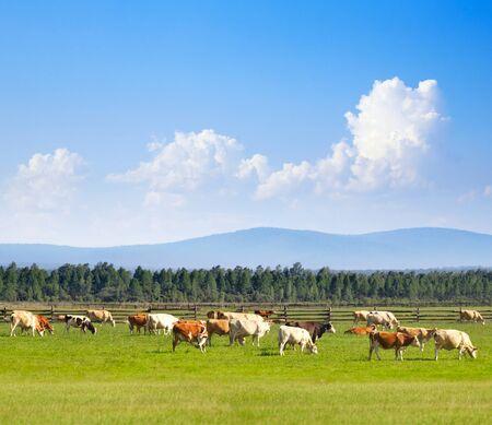 graze: Cows graze in the meadow