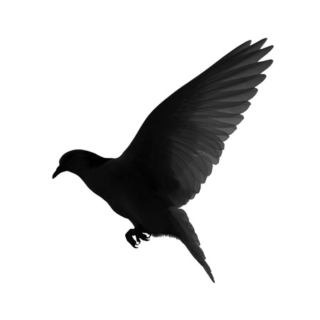white flight feathers: Silhouette of a flying dove on a white background