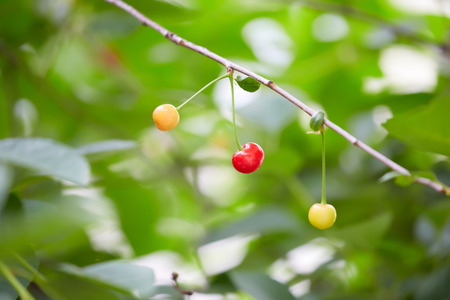 ripen: Cherries ripen on the branch on blurred  Stock Photo