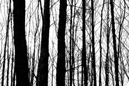 tree silhouettes: silhouettes of tree trunks on white background