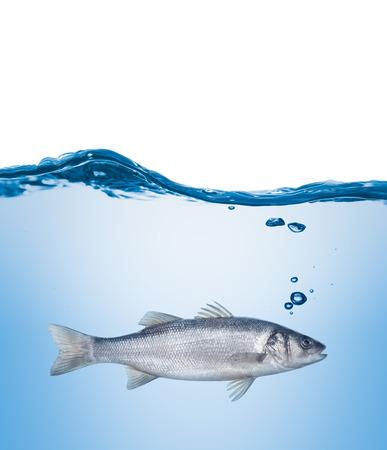fish water: fish seabass under water