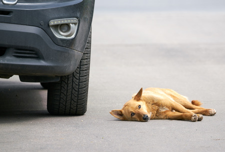 rueful: Stray dog looking at the sky lying on the road beside the car