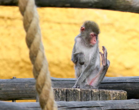 nothing: Japanese macaque looks at his leg, where there is nothing. Stock Photo
