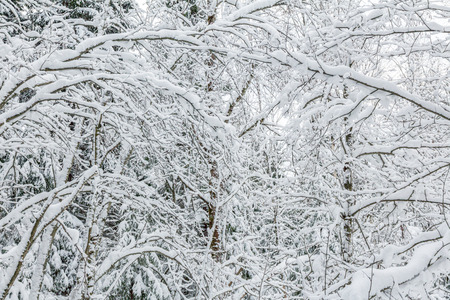 bent tree branches after heavy snowfall. winter pattern