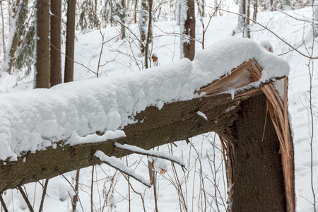 fallen trunk of a big tree under the snow in the forest. fallen tree in the winter snowy park Stock Photo