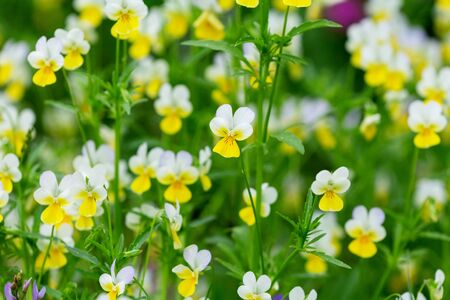 Wild Yellow Pansy Flowers In A Field. Alpine meadow violets. Viola tricolor. natural floral background Stock Photo