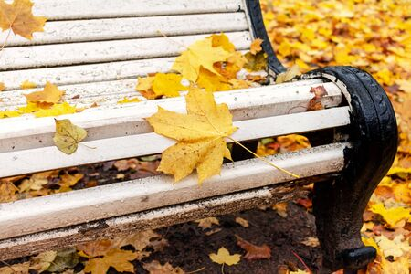 Empty old white bench in autumn park with yellow fallen leaves after rain Stockfoto