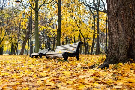 Beautiful autumn park with white benches and bright yellow fallen leaves. Morning landscape without people