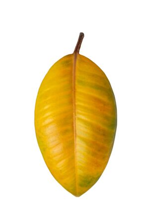 yellow-green ficus leaf isolated on white background Imagens