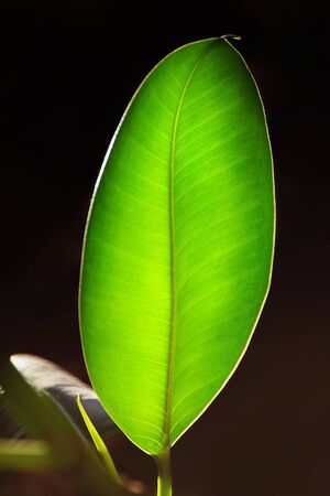 A large green ficus leaf on a dark background with backlit sunlight. Vertical minimalistic photo. 版權商用圖片