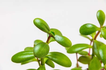 Crassula. green foliage of a home decorative plant on a light background 版權商用圖片