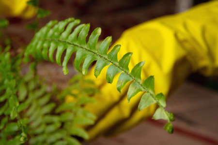 Fertilizing and transplanting a home plant. Care for green fern Nephrolepis. In the background yellow gloved hands are out of focus 版權商用圖片