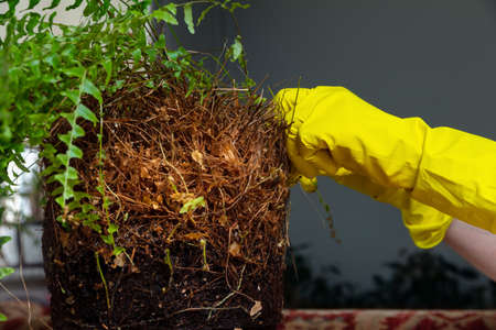 Transplanting indoor overgrown fern Nephrolepis. female hands in yellow rubber gloves removes dead roots from the plant