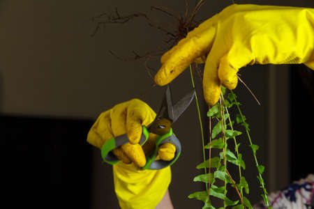Transplant overgrown room of the fern Nephrolepis. A woman in yellow rubber gloves cuts dry branches and roots of a houseplant with a pair of scissors 版權商用圖片
