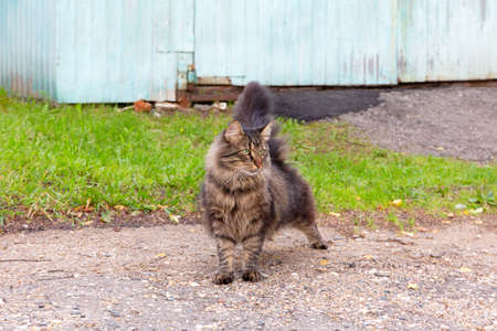 Big fluffy brown country cat with green eyes outdoors stretches after sleeping