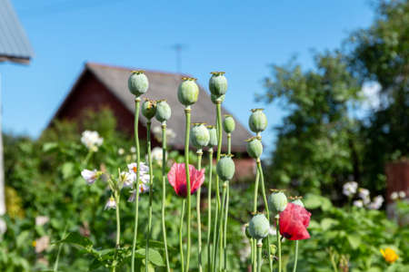 Opium poppy seed heads grows in the garden against the background of the house and the blue sky. Forbidden plants