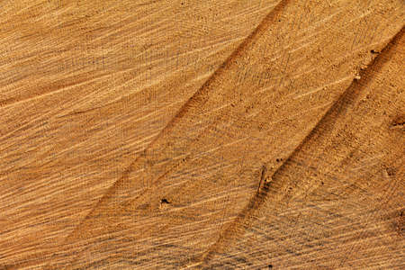 Texture of a sawn old poplar tree with saw marks