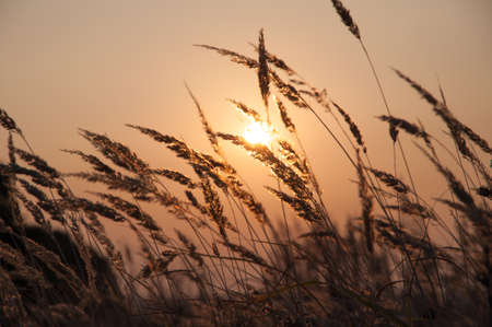 Sunset in the field, the sun shines through the stalks of grass, silhouette