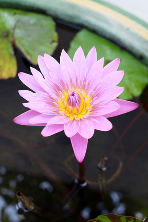 water well: violet lotus in the water well Stock Photo