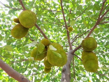 jack fruit: jack fruit tree