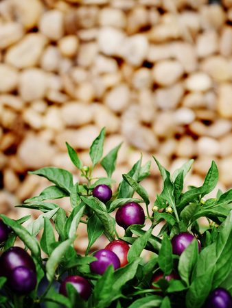 capsicum plant: violet chili tree with background blur Stock Photo