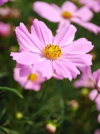 sulfur: beautiful Sulfur Cosmos flower in background blur Stock Photo
