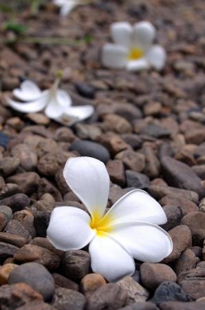 White Leelawadee flower on the rock road photo