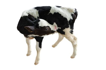baby cow in front of a white background,Isolated