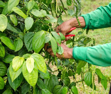 Gardeners were cutting pepper tree, outdoor