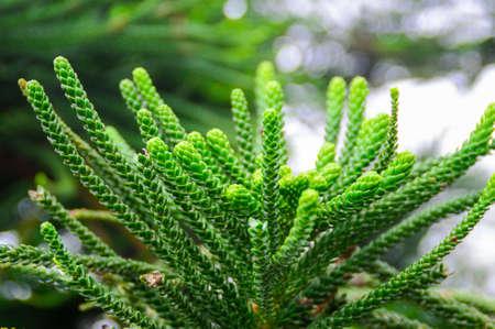 pinaceae: Pinaceae Stock Photo