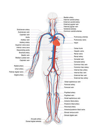 human body artery system in vector with full caption