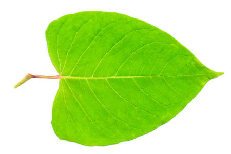 Wide green leaf on a white isolated background.