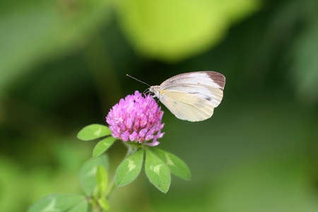 Red clover are in bloom in the field of Japan and white butterfly