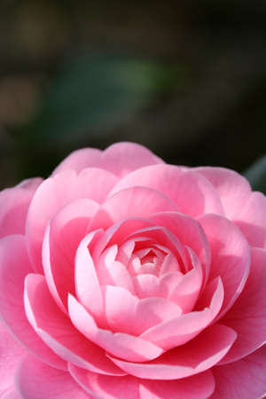 This photo is a flower of the Japanese camellia  Stock Photo