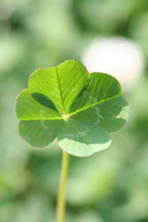 four leaved: This is a picture of a natural four leaf clover