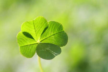 이것은 자연의 네 잎 클로버의 사진입니다