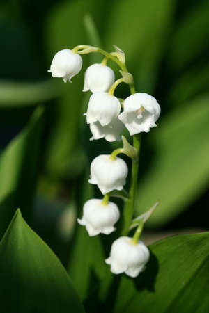 This is a picture of lily of the valley  photo