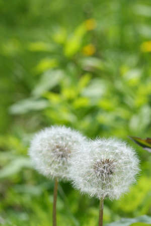 Dandelion fluff Stock Photo