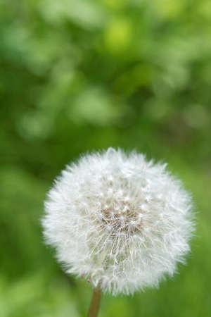 fluff: Diente de le�n pelusa
